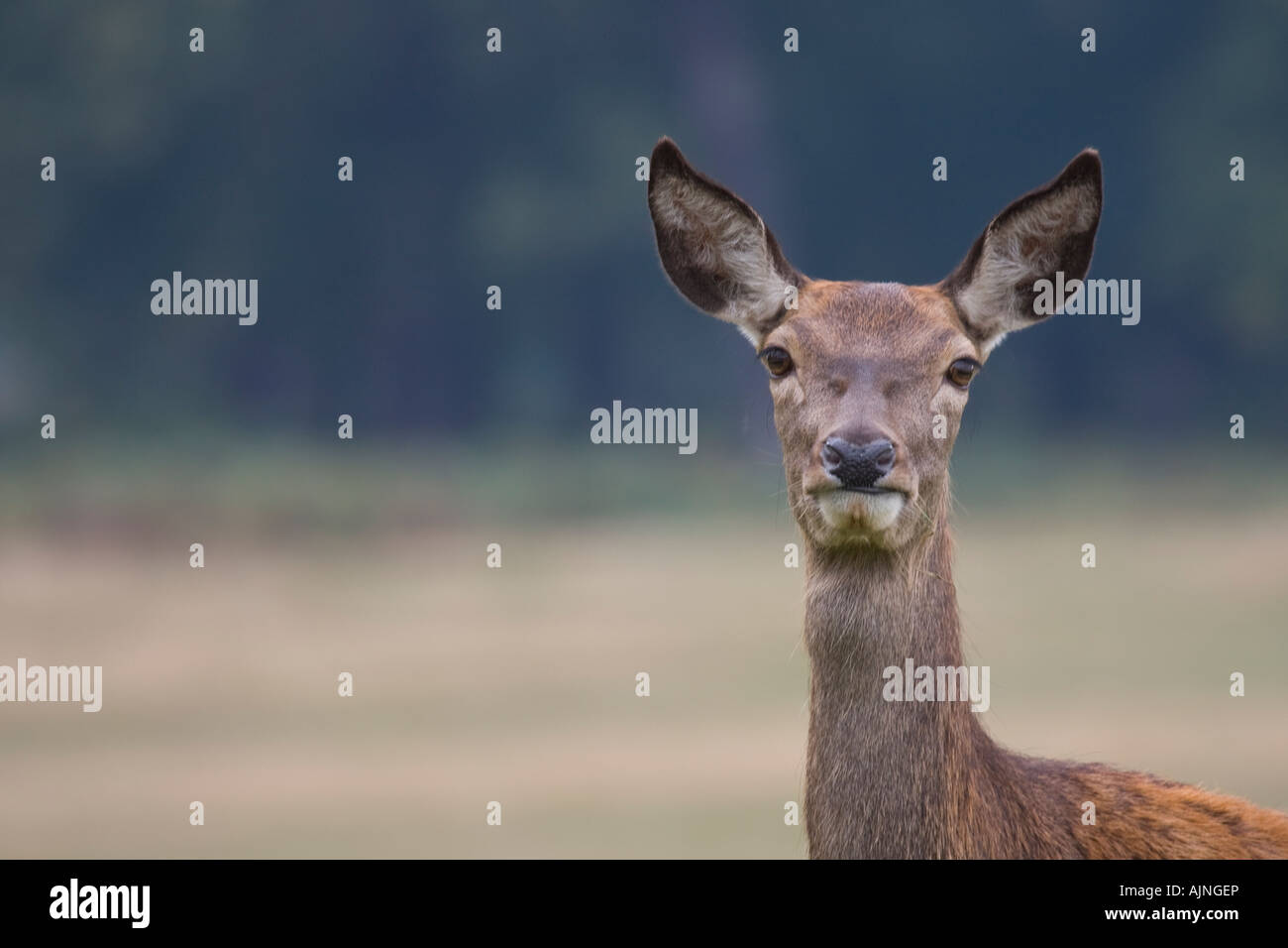 Red female deer Richmond Park London England UK - Stock Image