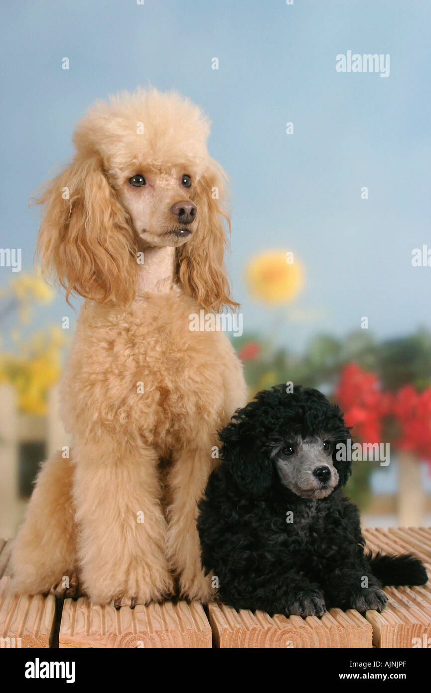 Miniature Poodle Apricot With Puppy 9 Weeks Silver Stock Photo