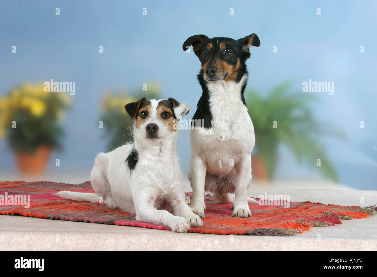 Jack Russell Terrier Pair Stock Photos & Jack Russell Terrier Pair ...