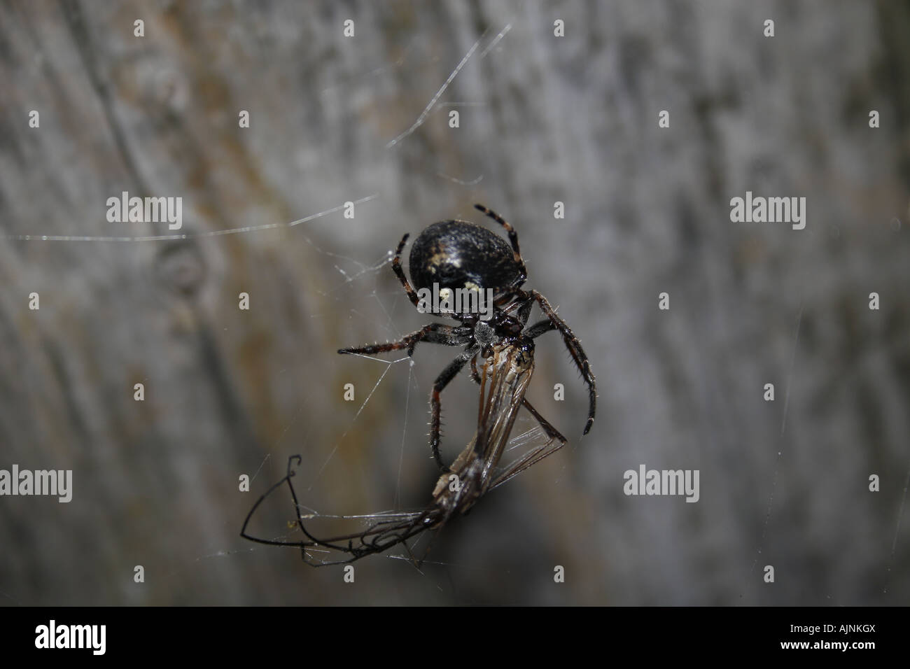 spider eating crane fly - Stock Image