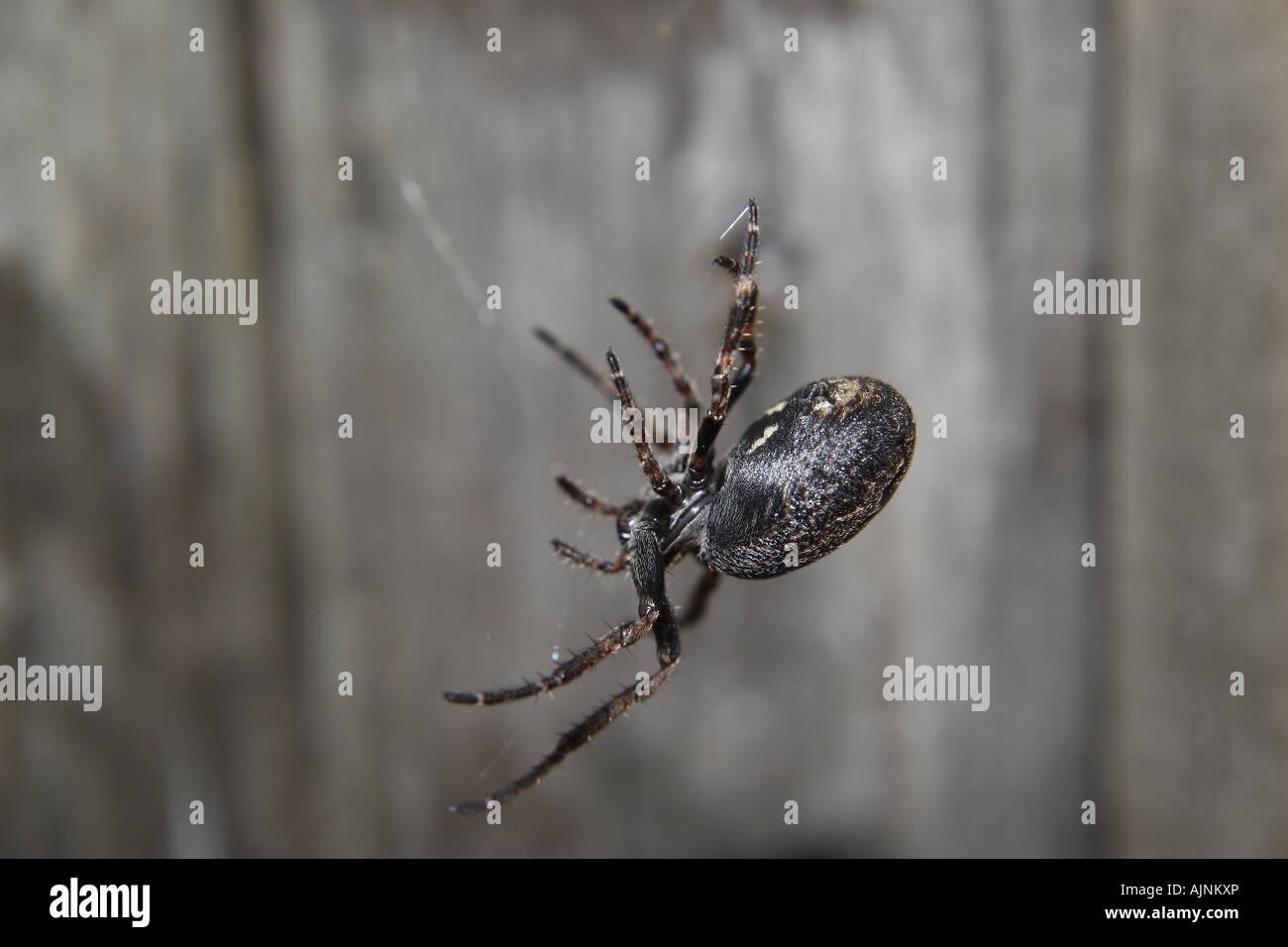spider - Stock Image