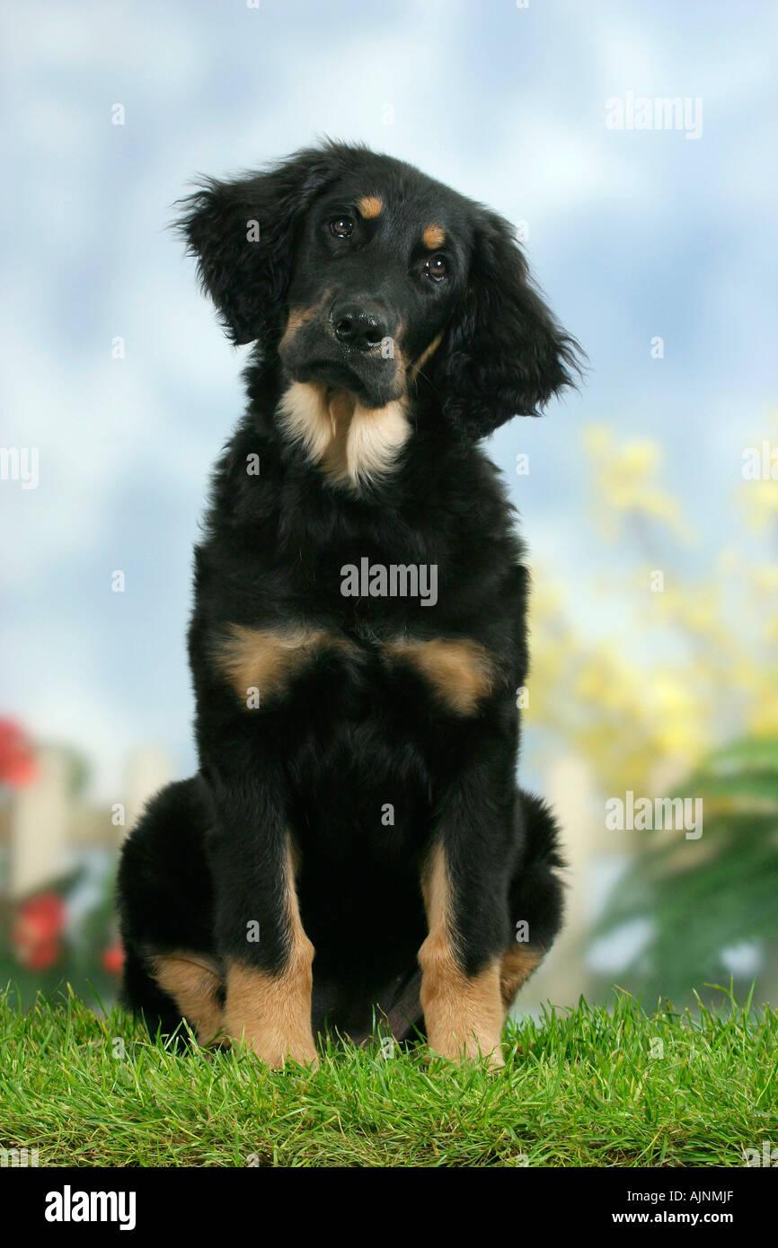 Hovawart Puppy 4 Month Hovawart Schwarz Marken Welpe 4 Monate
