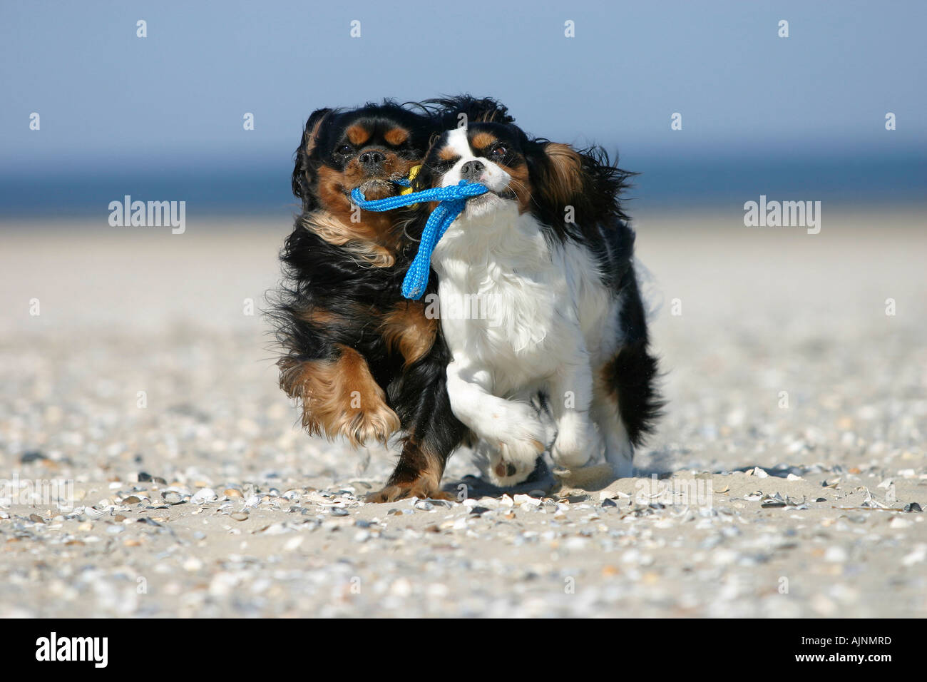 Cavalier King Charles Spaniel retrieving ball at beach Cavalier King Charles Spaniel apportieren Ball am Strand Stock Photo