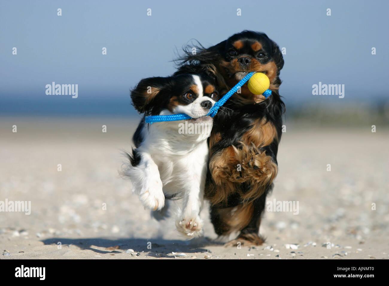 Cavalier King Charles Spaniel retrieving ball at beach Cavalier King Charles Spaniel apportieren Ball am Strand Spielzeug - Stock Image