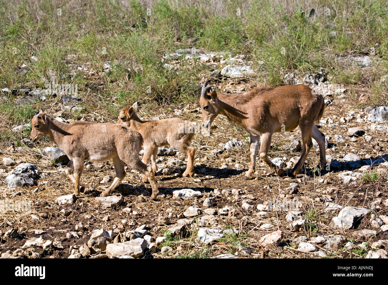 Aoudad femail and two young walking in a wildlife sanctuary in Stock