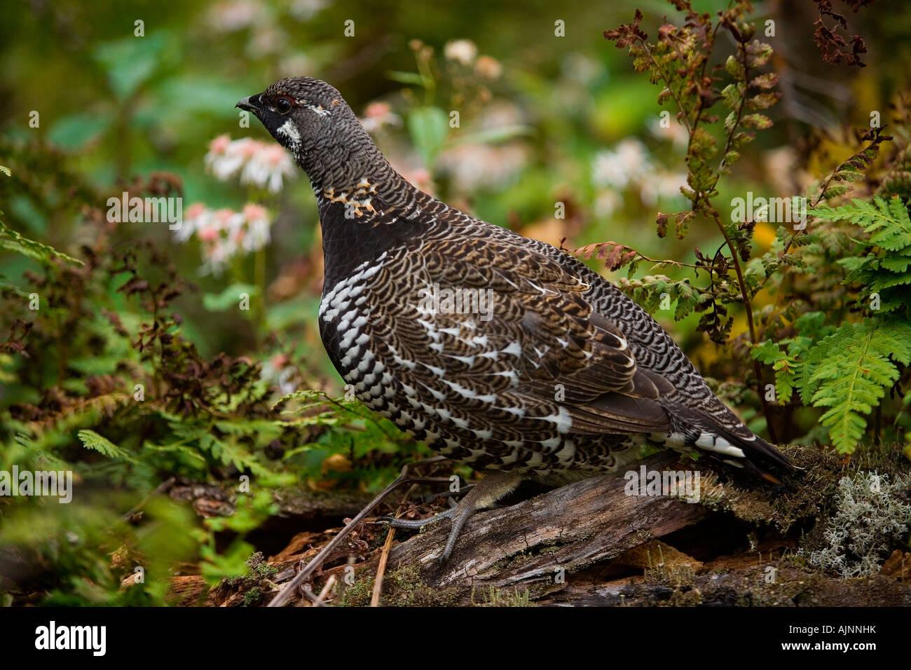 Spruce Grouse, (Falcipennis canadensis), Cape Breton Highlands National Park, Nova Scotia, Canada - Stock Image