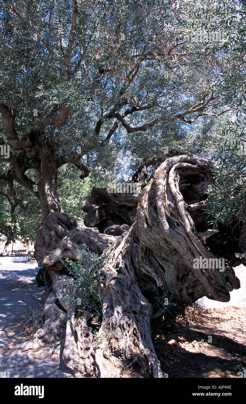One of the oldest olive trees on the island at Exo Chora Zakynthos Island Ionian islands Greece Europe - Stock Image