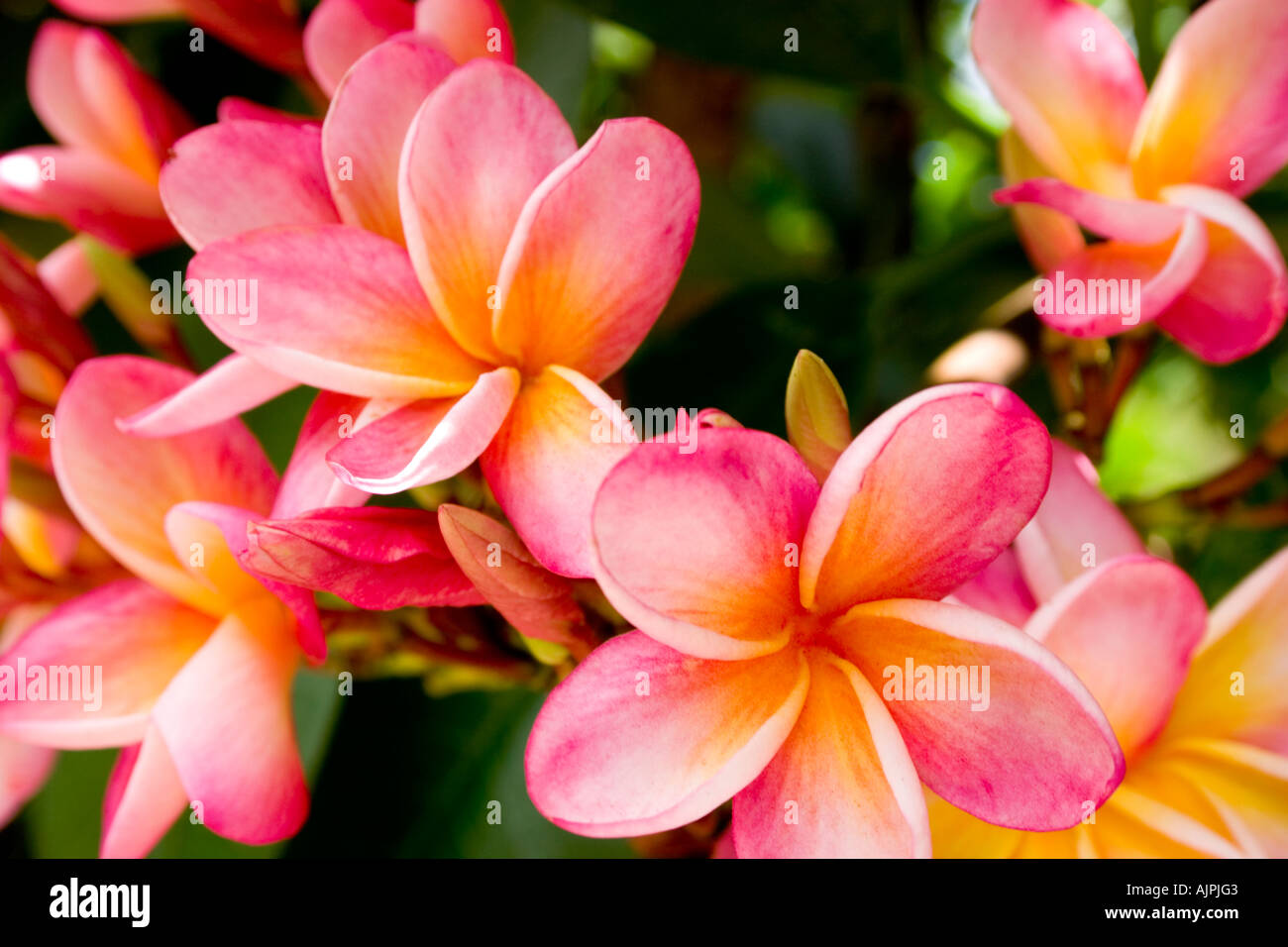 Pink And Orange Plumeria Flowers Stock Photos Pink And Orange