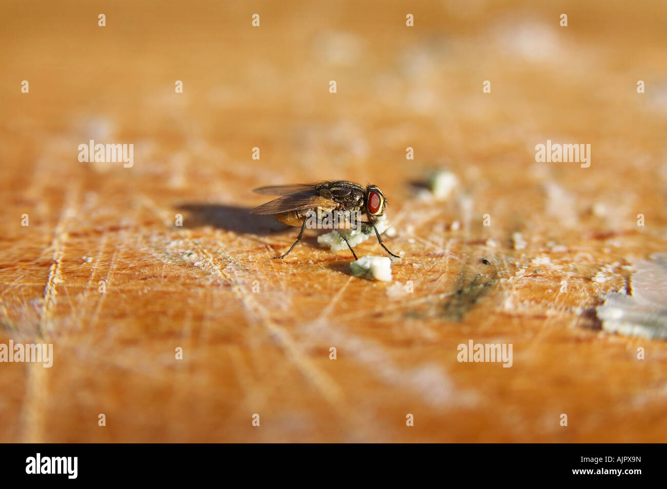 Housefly feeding on a wooden chopping board - Stock Image