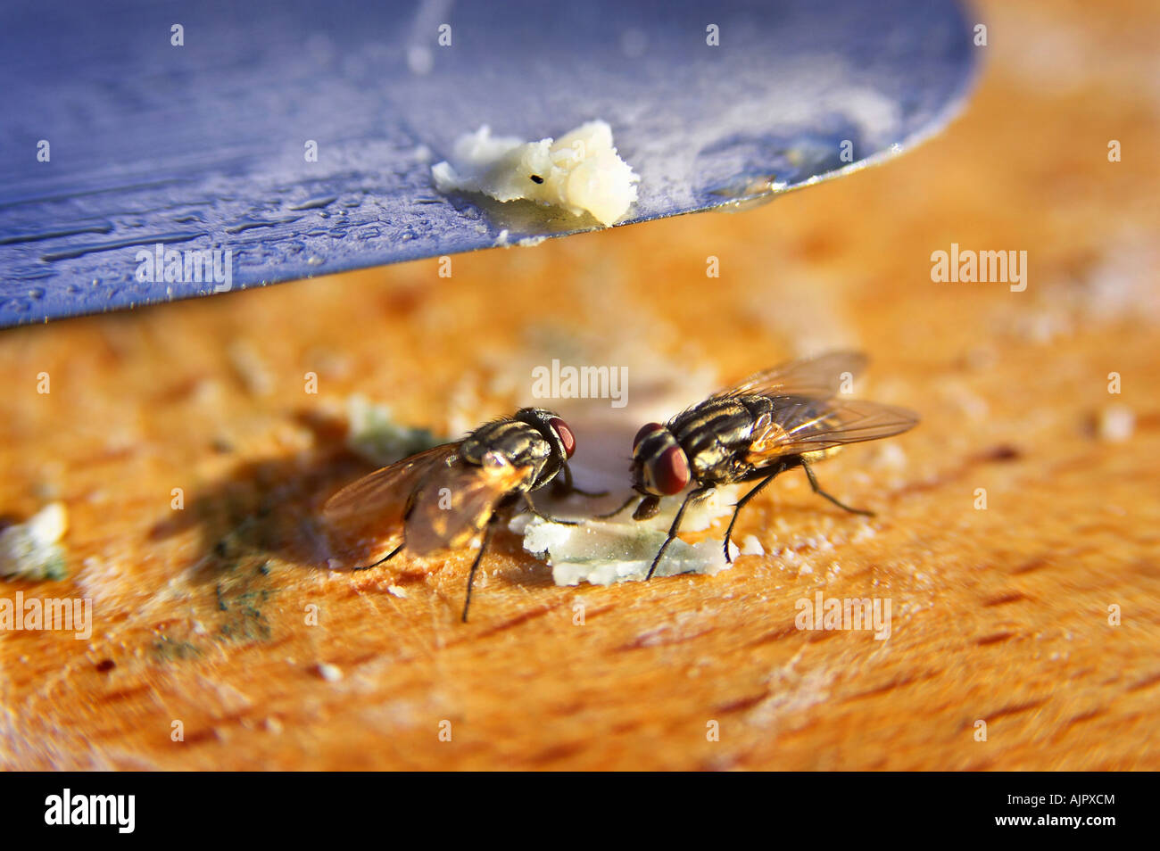 Houseflys feeding on a wooden chopping board - Stock Image