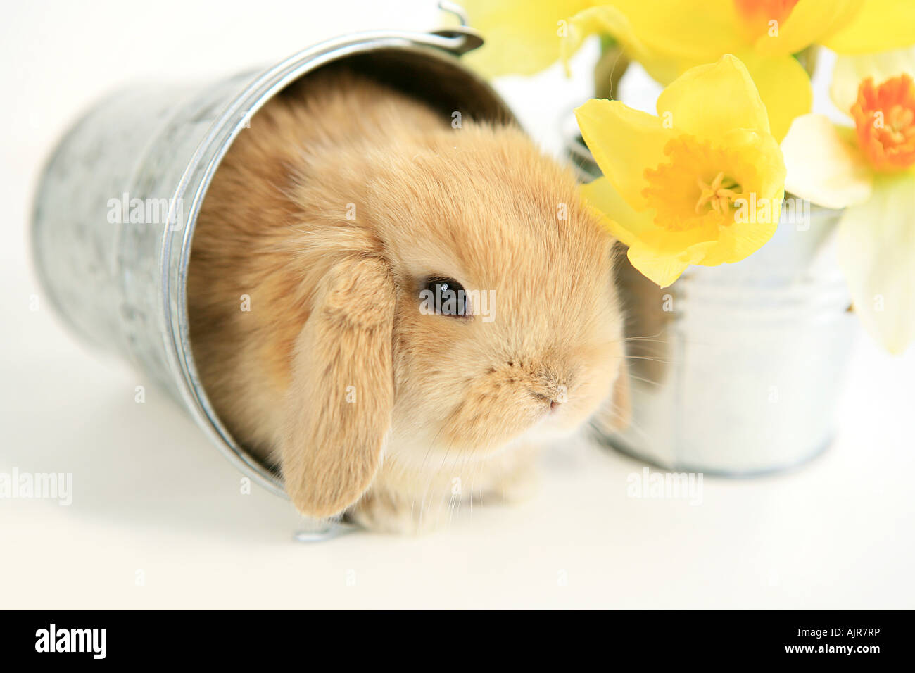 Baby mini lop ear bunny in silver galvanized bucket with yellow daffodil flowers isolated on white background - Stock Image