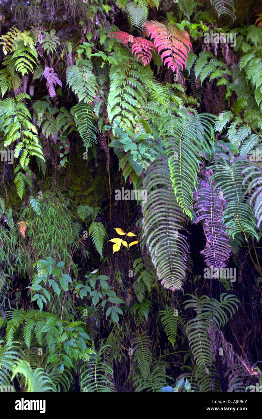 A cascade of ferns hang along a wet cliff face near the village of Tibling, Ganesh Himal, Nepal - Stock Image