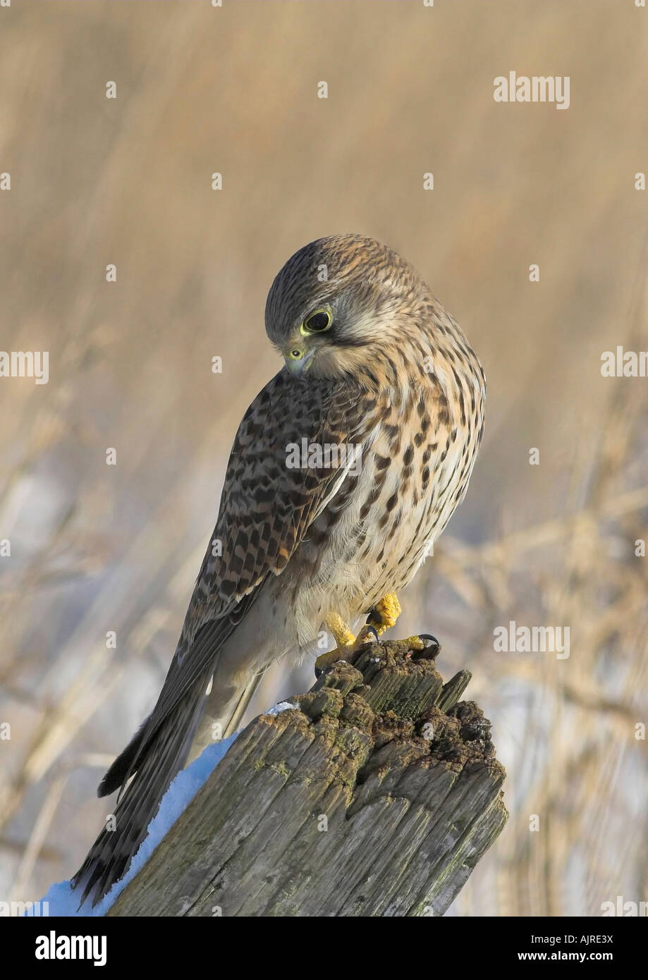 Falco tinnunculus - Common Kestrel female perched on fencepole in a graceful winter color portrait - Stock Image