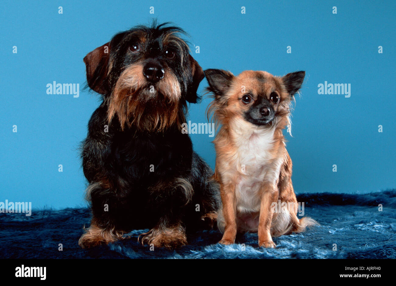 Wirehaired Dachshund and Chihuahua longhaired Stock Photo: 8455759 ...