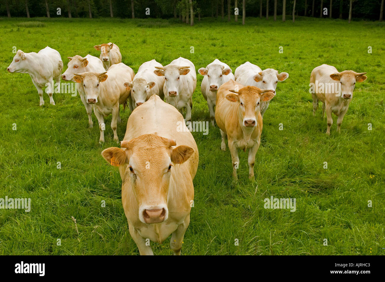 France Picardy cows in a field Stock Photo