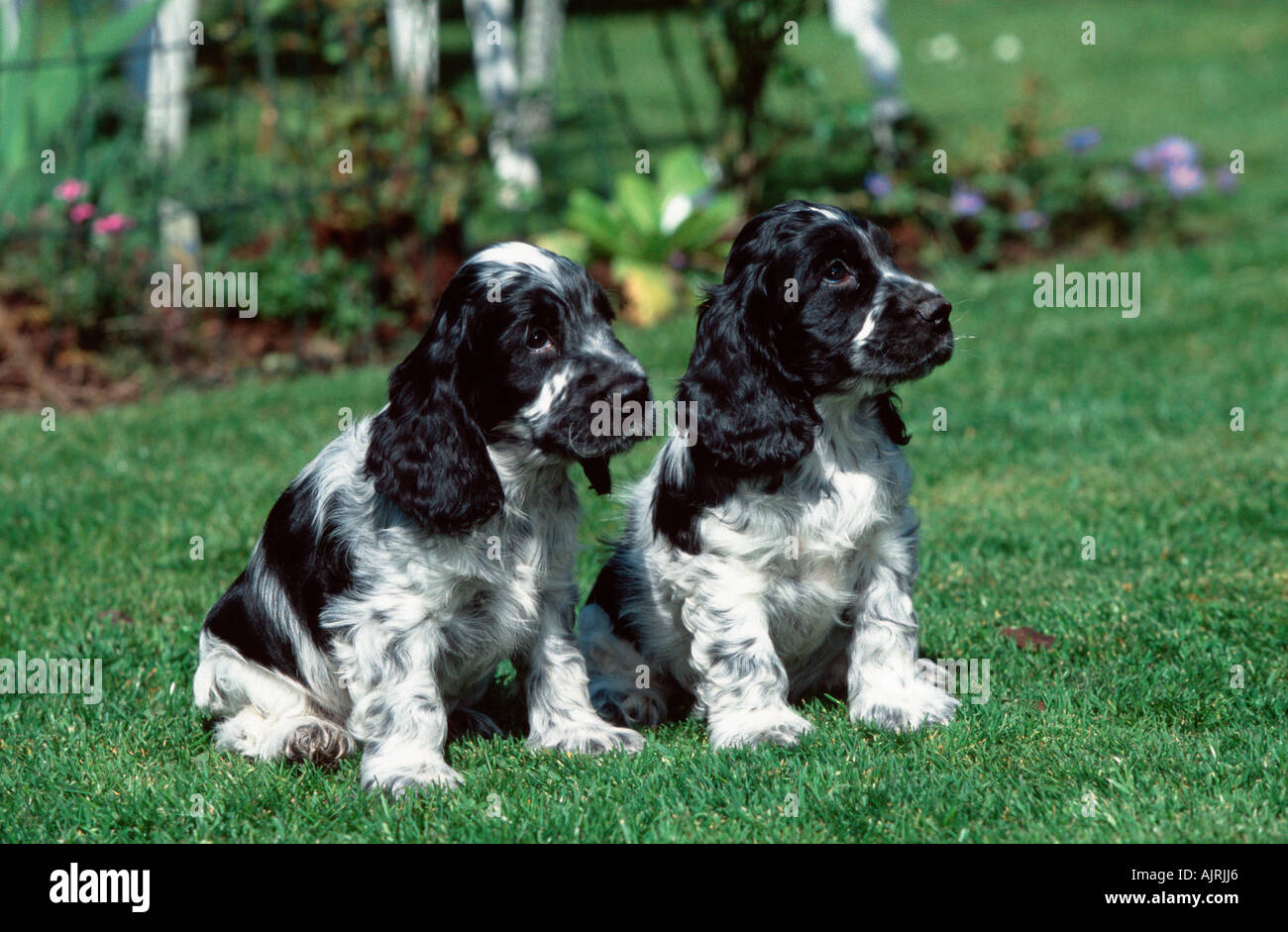 English Cocker Spaniel Puppies 7 Weeks Stock Photo Alamy