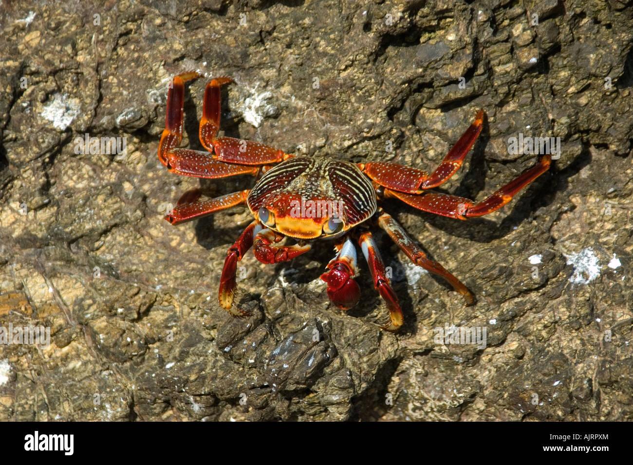 Red rock crab Grapsus grapsus St Peter and St Paul s rocks Brazil Atlantic Ocean - Stock Image