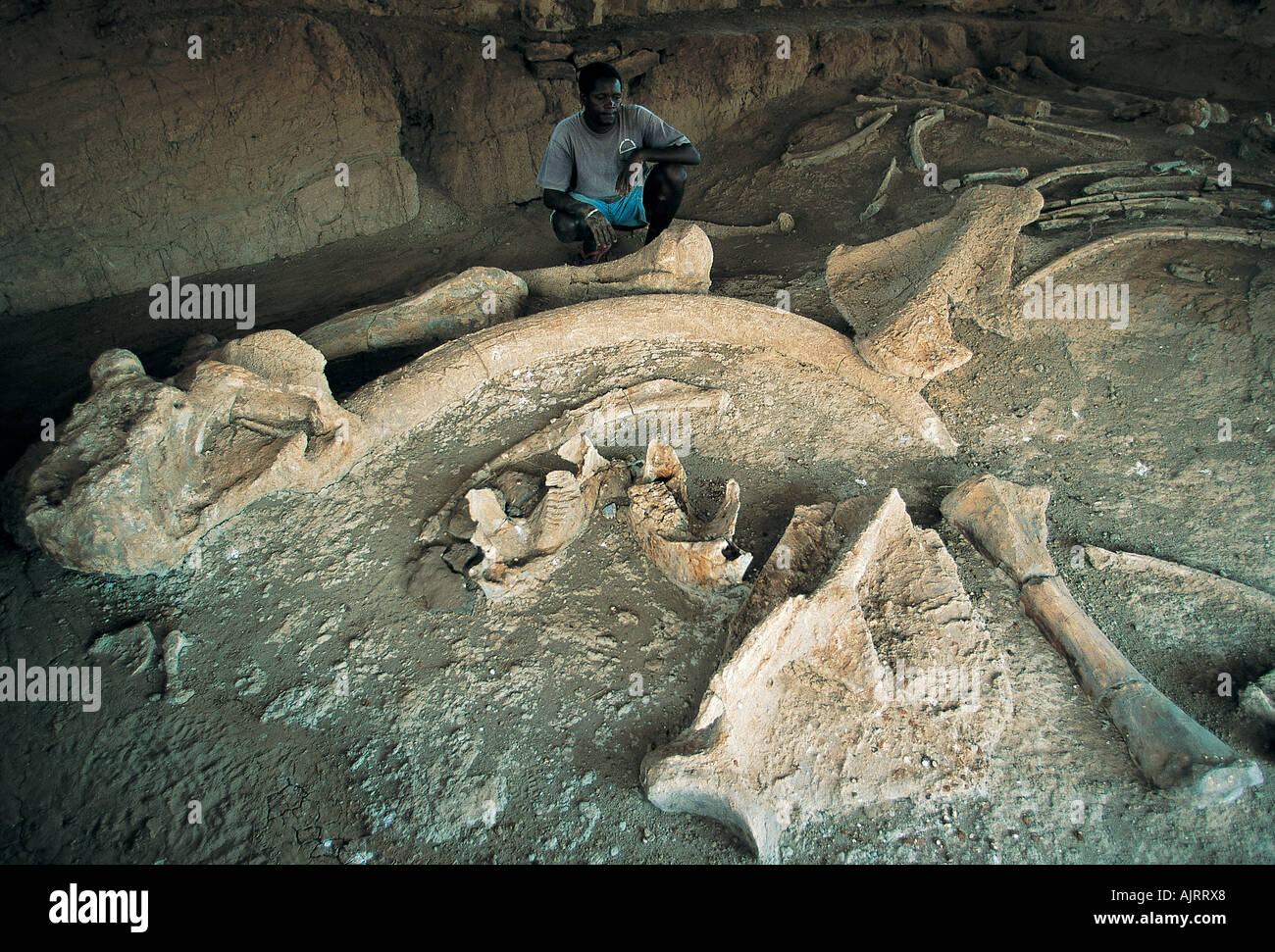 Fossil bones of extinct elephant, Elephas recki, Lake Turkana Kenya. - Stock Image