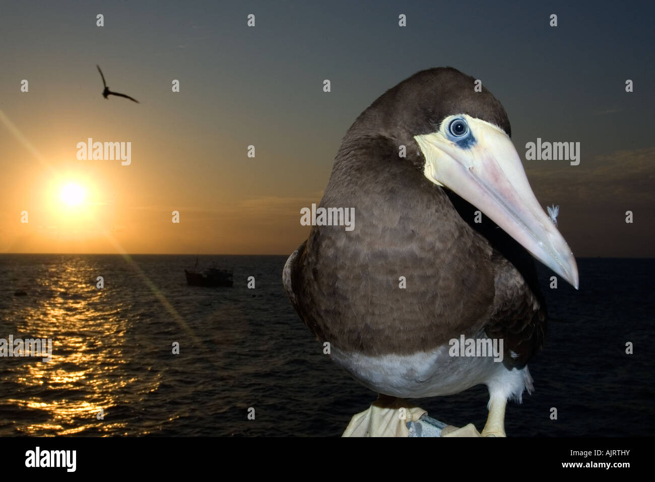 Brown booby Sula leucogaster and sunset St Peter and St Paul s rocks Brazil Atlantic Ocean - Stock Image