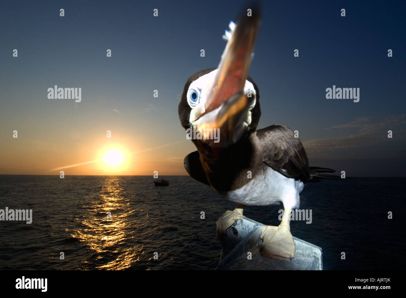 Brown booby Sula leucogaster pecking at lens and sunset St Peter and St Paul s rocks Brazil Atlantic Ocean - Stock Image