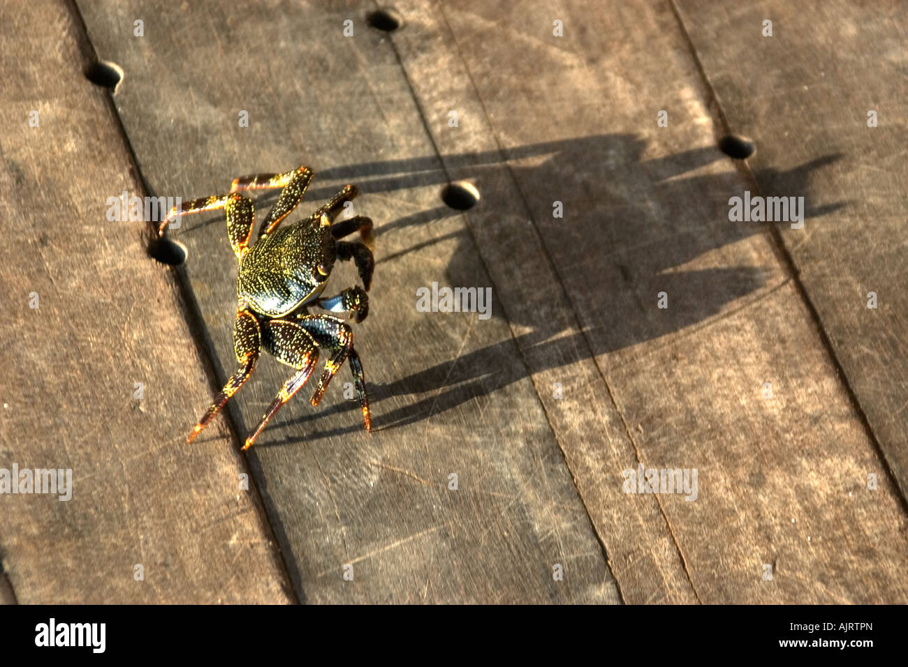 Red rock crab Grapsus grapsus and shadow St Peter and St Paul s rocks Brazil Atlantic Ocean - Stock Image