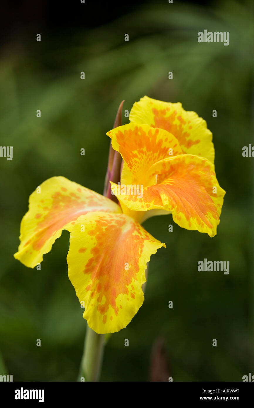 Canna Indica Canna Lily Flower In India Stock Photo 14801219 Alamy