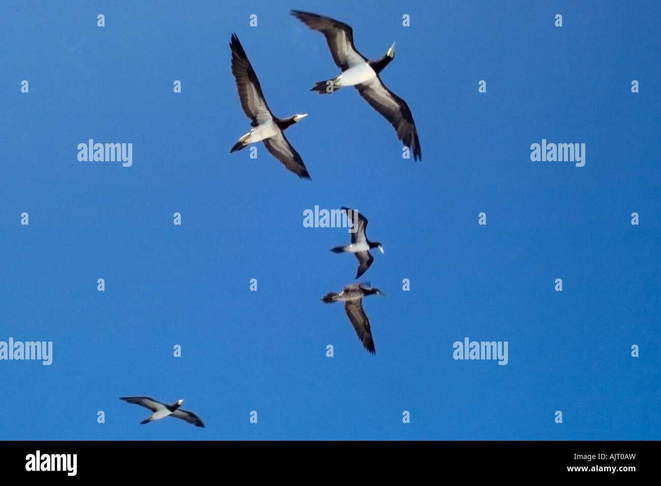 Brown boobies Sula leucogaster flying St Peter and St Paul s rocks Brazil Atlantic Ocean - Stock Image
