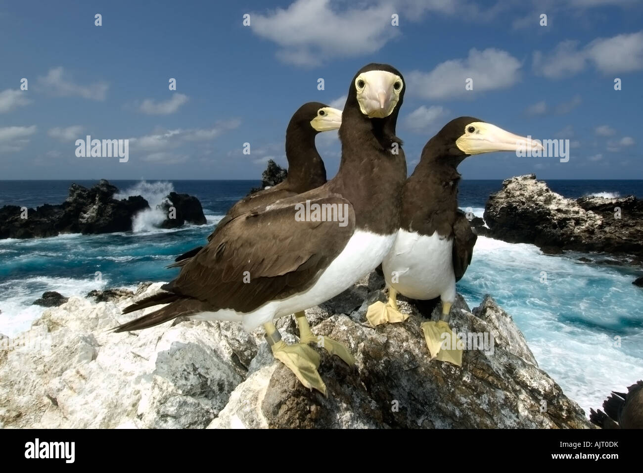 Brown boobies Sula leucogaster and bay St Peter and St Paul s rocks Brazil Atlantic Ocean - Stock Image