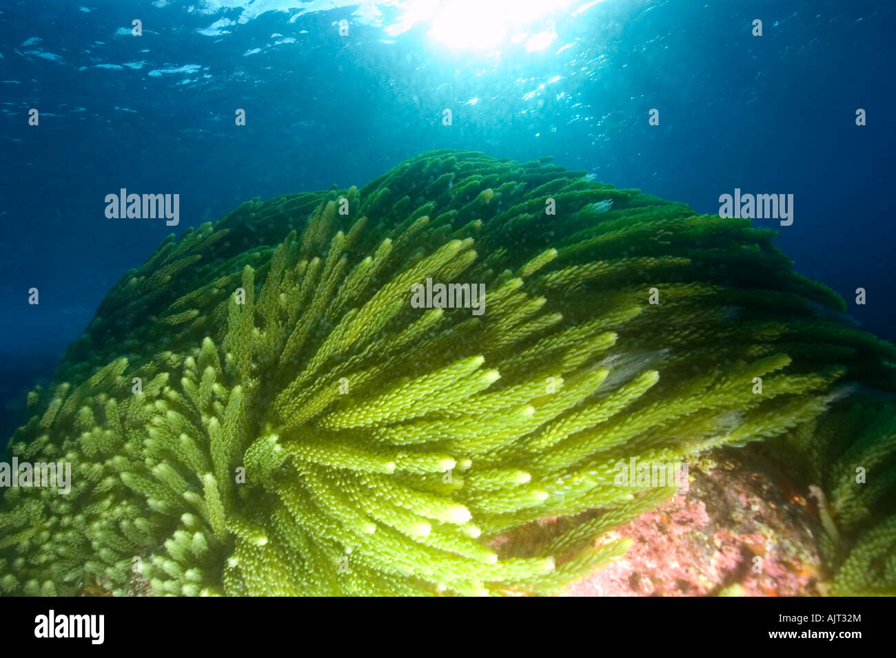 Green algae Caulerpa racemosa St Peter and St Paul s rocks Brazil Atlantic Ocean - Stock Image