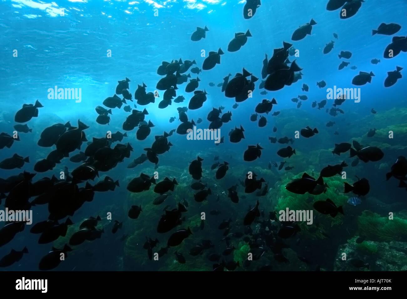 Black durgon Melichthys niger schooling St Peter and St Paul s rocks Brazil Atlantic Ocean - Stock Image