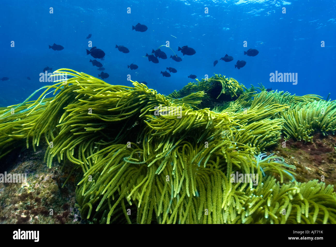 Green algae Caulerpa racemosa and black durgon Melichthys niger schooling St Peter and St Paul s rocks Brazil Atlantic - Stock Image