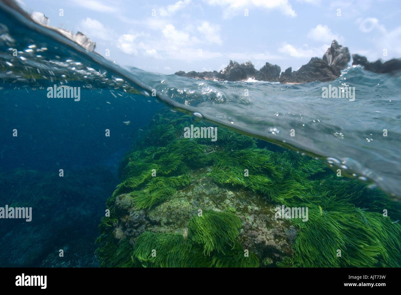 Split image of rocks and green algae Caulerpa racemosa St Peter and St Paul s rocks Brazil Atlantic Ocean - Stock Image
