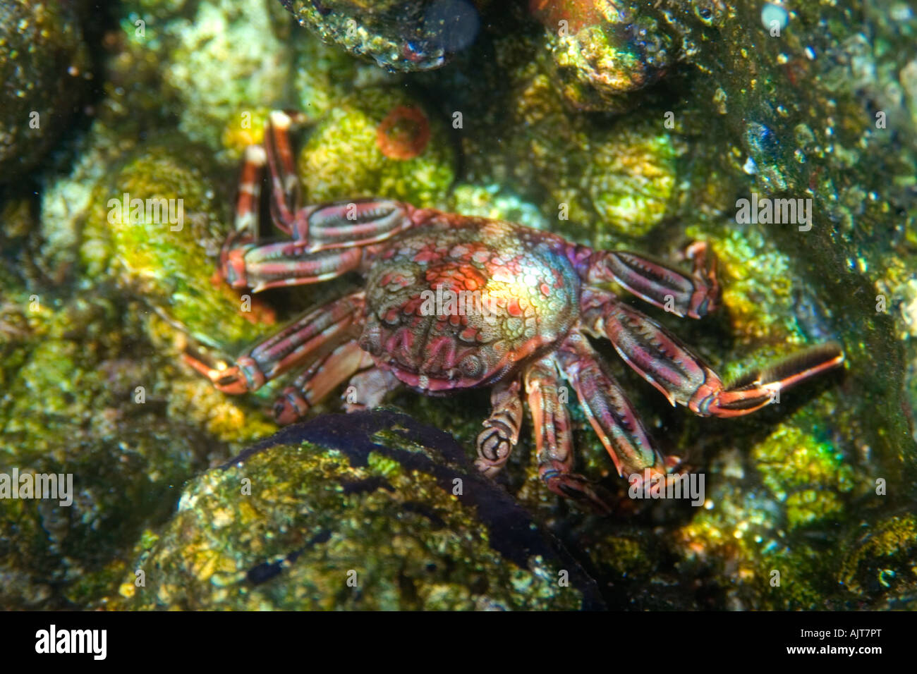 Tidal crab Plagusia depressa St Peter and St Paul s rocks Brazil Atlantic Ocean - Stock Image