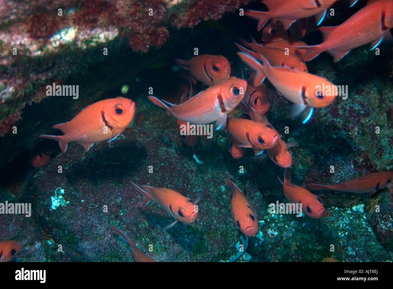 Blackbar soldierfish Myripristis jacobus aggregation St Peter and St Paul s rocks Brazil Atlantic Ocean - Stock Image