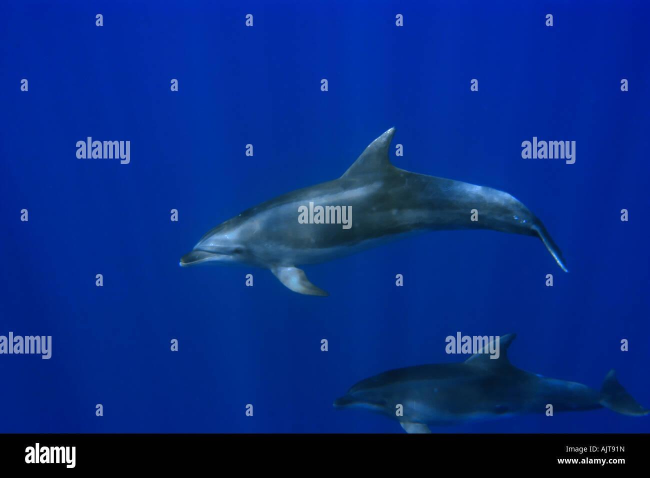 Bottlenose dolphins Tursiops truncatus swimming in open ocean St Peter and St Paul s rocks Brazil Atlantic Ocean - Stock Image