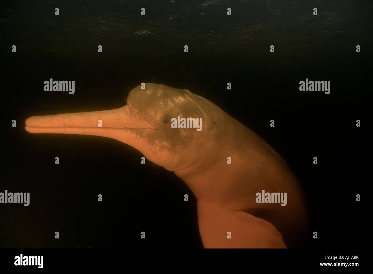 Pink river dolphin or boto Inia geoffrensis Negro River Amazonas Brazil - Stock Image