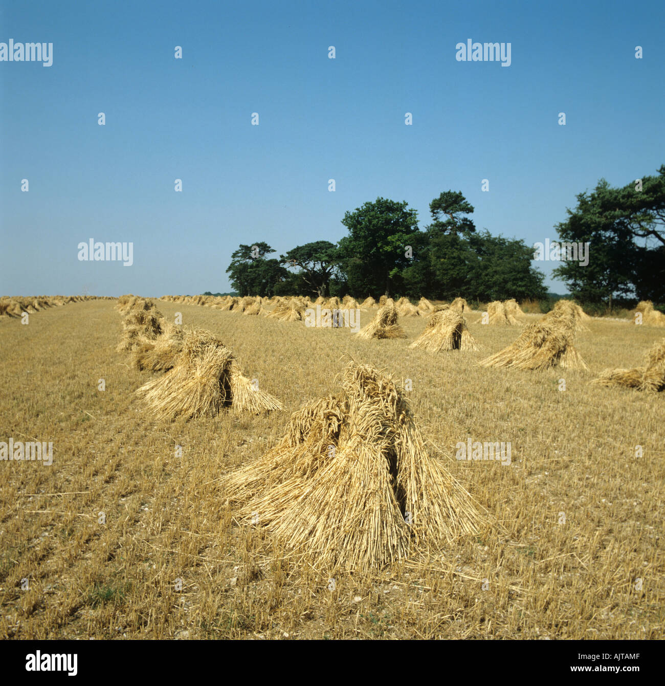 Long strawed thatching wheat stooks after harvest Hampshire - Stock Image