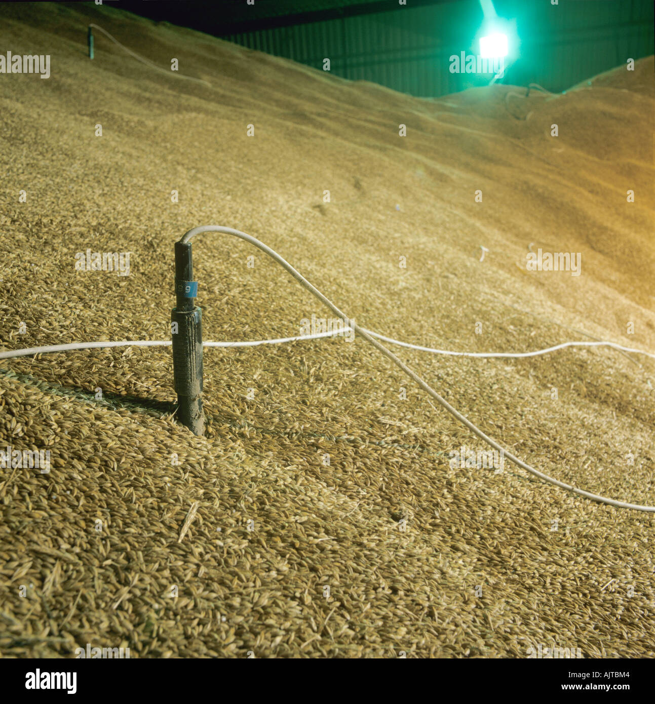 Temperature sensor probe in stored barley grain in EEC intervention store - Stock Image