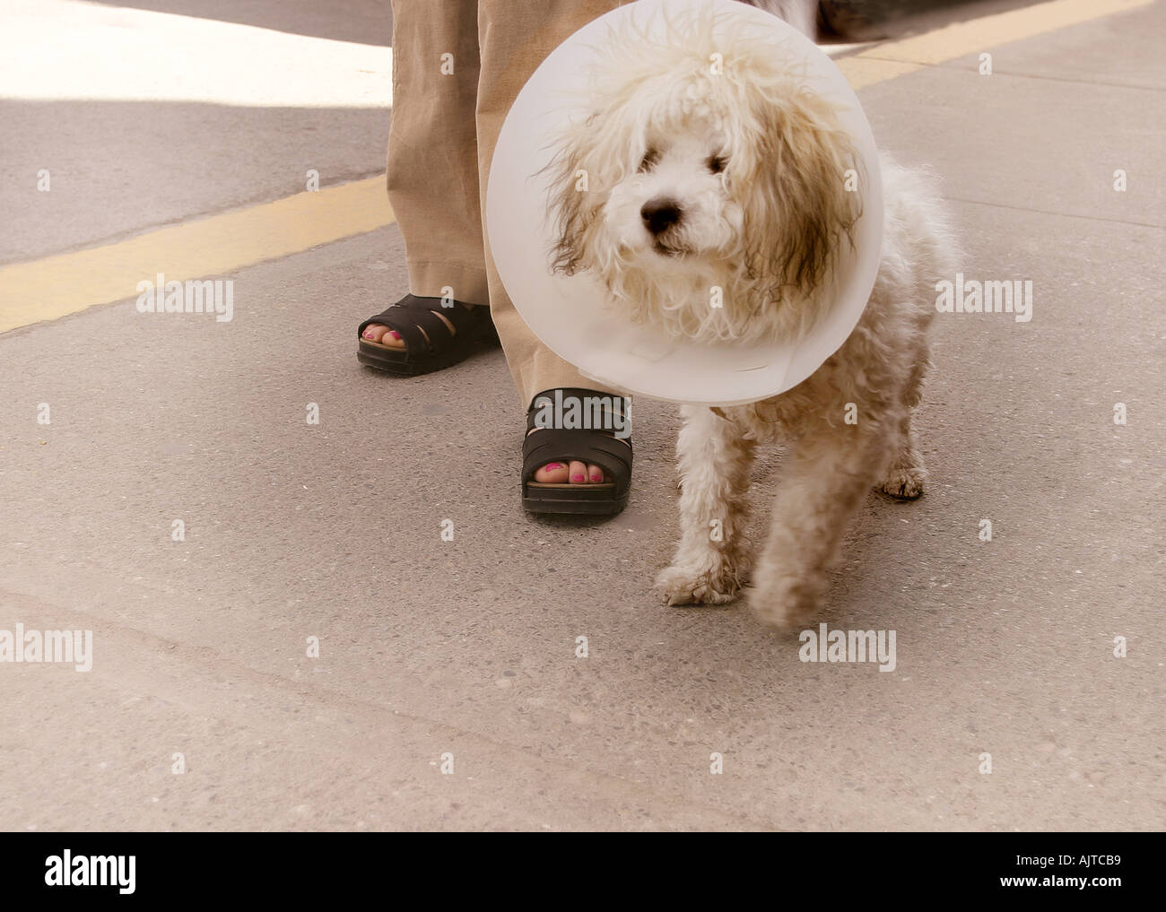 A dog with a cone around his head - Stock Image