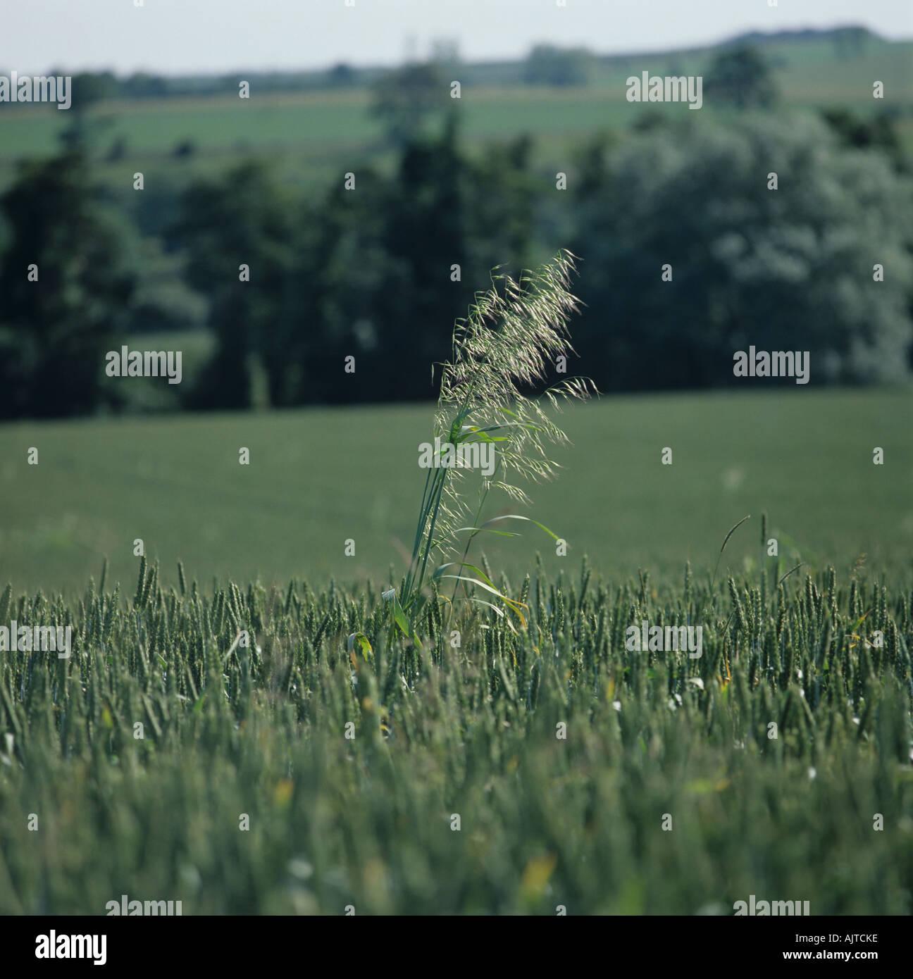 Wild oats Avena fatua flowering panicle in wheat crop in ear Stock Photo