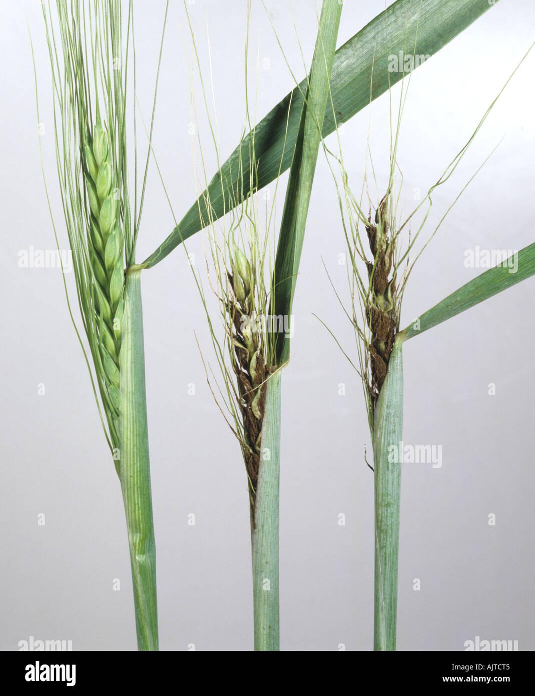 Loose smut Ustilago nuda on bearded wheat ears - Stock Image