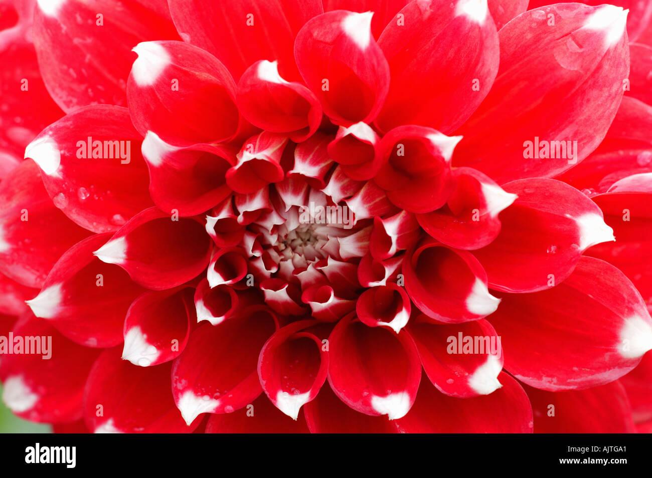 White flower red tips stock photos white flower red tips stock dahlia stevie d in close up stock image mightylinksfo