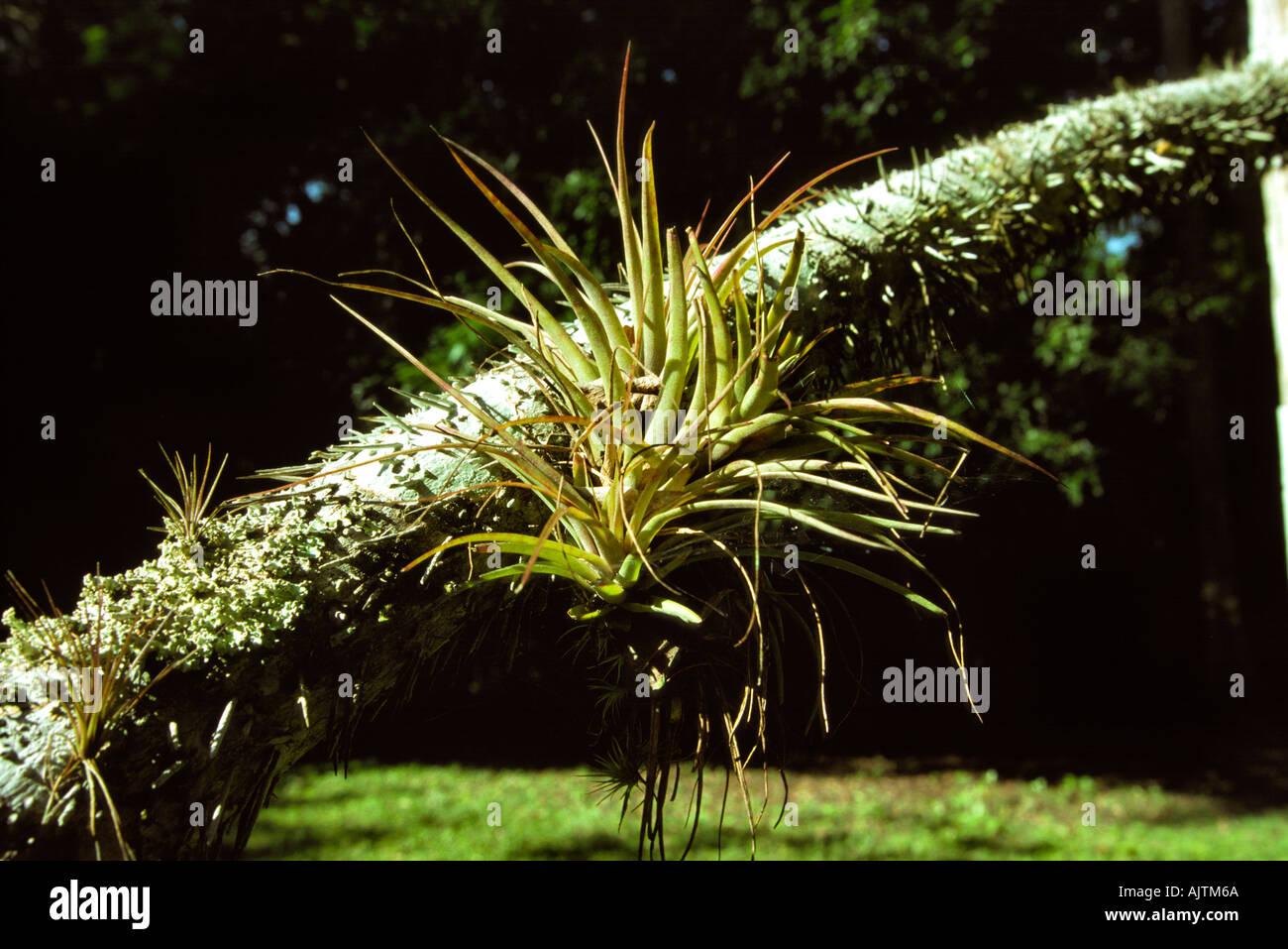 Guatemala Peten Flora Tillandsia Ionantha Air Plant On Branch Of