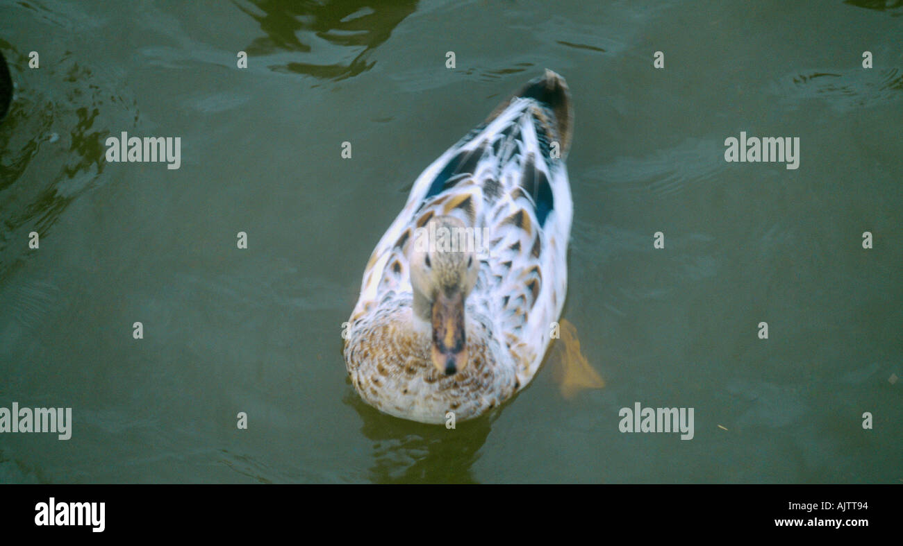 Female Mallard Duck Aylesbury England - Stock Image