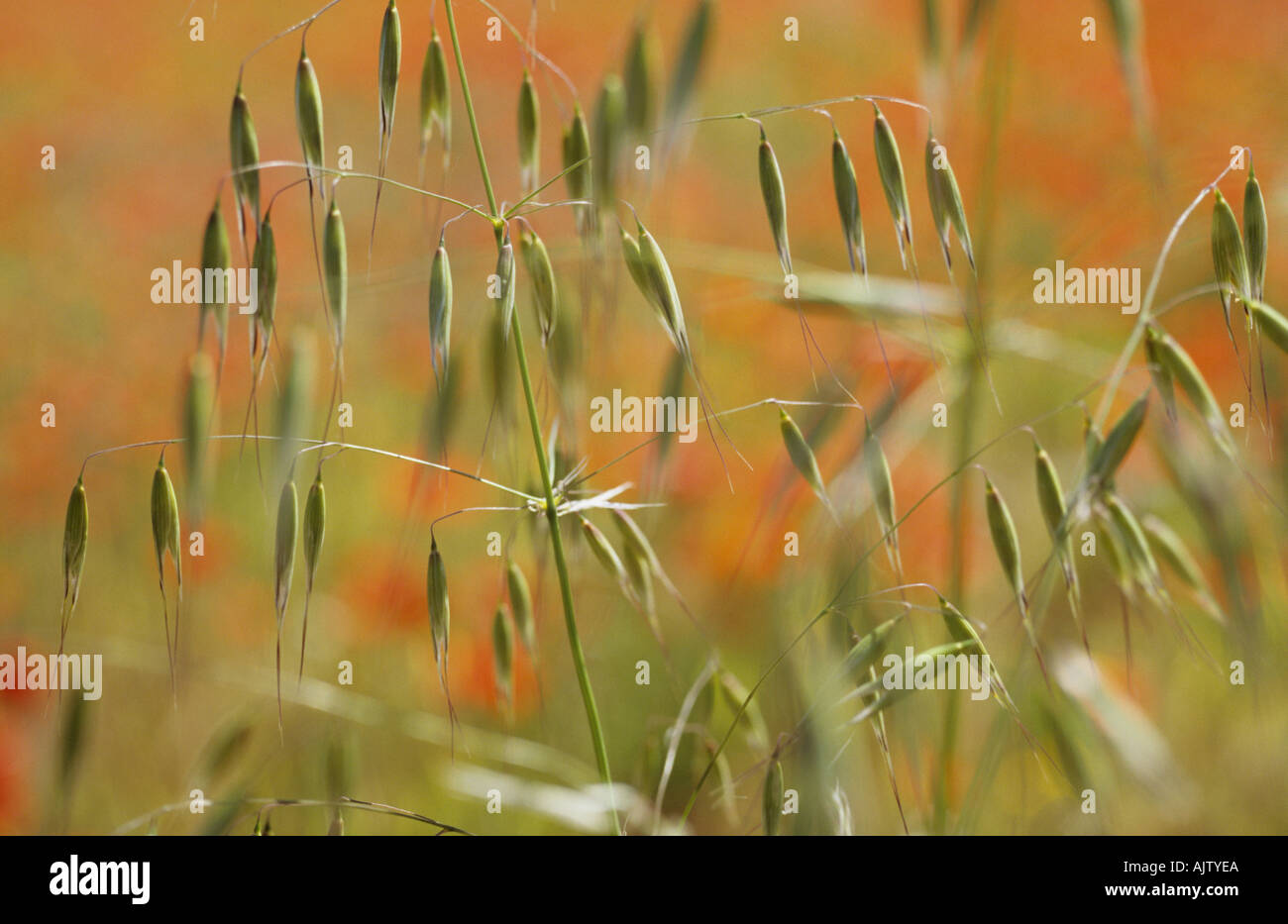Close up of a stem of Wild oat or Avena fatua in a field with Common poppies or Papaver rhoeas in background Stock Photo