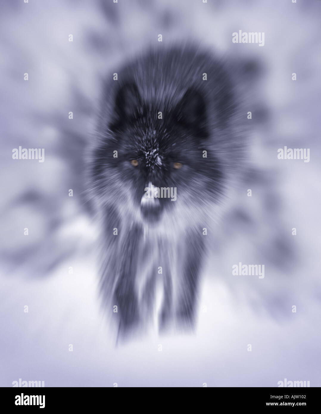 Lone Alpha Male Grey Wolf Stock Photos & Lone Alpha Male
