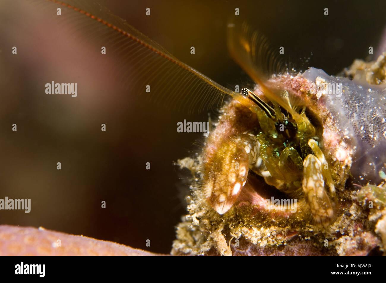 Hard coral or Hermit crab Paguritta harmsi Anilao Batangas Philippines Pacific Ocean - Stock Image