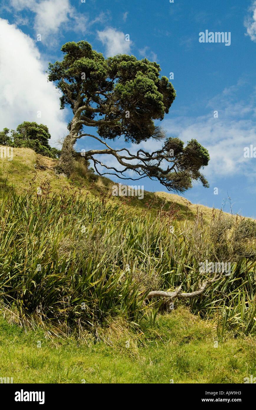Northern Rata Tree  Stock Photo