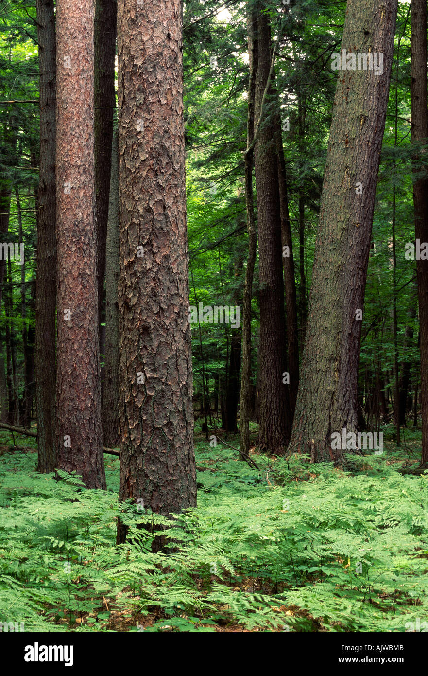 Old growth white pine and red pine forest, Hartwick Pines State Forest, Michigan - Stock Image