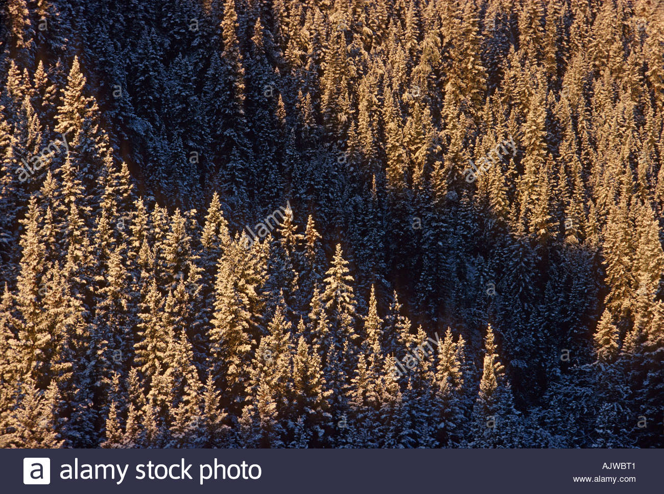 Taiga, boreal forest, coniferous evergreen forest.  White spruce, Picea glauca, trees with snow, Alberta, Canada - Stock Image